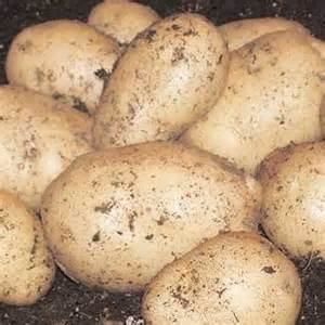 Main Crop Seed Potatoes
