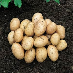 First Early Seed Potatoes