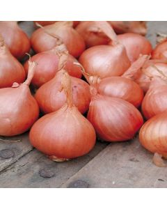 Red Sun Shallots - 500g Pack